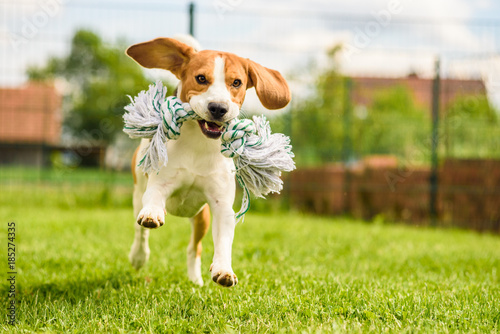 fototapeta na lodówkę Dog run Beagle fun