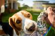 Beagle dog pulls toy