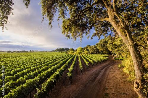 Fotografie, Obraz  Wine Country Chardonnay