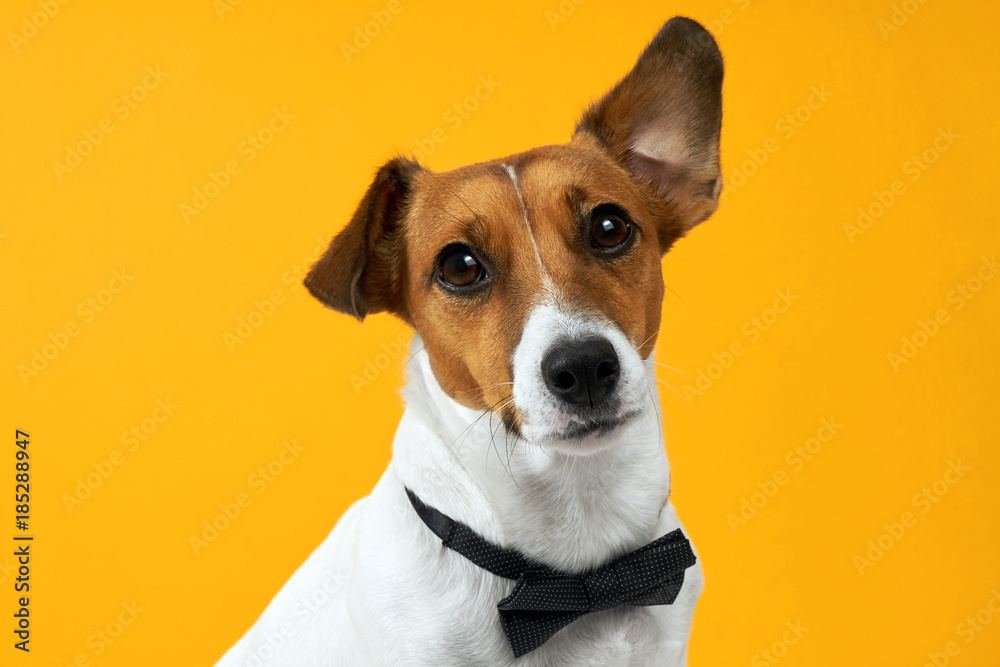 Fototapety, obrazy: Portrait of a dog breed of Jack Russell on the neck on a yellow background. Background for your text and design