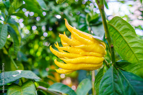 Yellow Organic Buddhas Hand Citrus Fruit with Fingers from Sicily