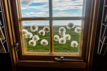 Flowers Of Cotton Grass In A Window On A Background Of Cloudy Sky, Sea And Green Grass