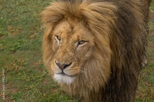 Fotobehang Leeuw Lion in South Africa