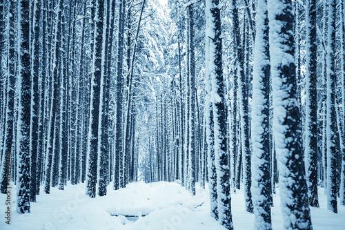 Canvas Prints Birch Grove Winter nature background.
