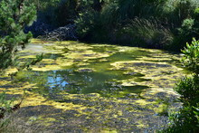 Strong Algal Bloom In Small Po...