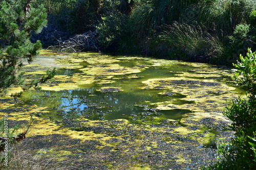 Valokuva  Strong algal bloom in small pond among greenery.