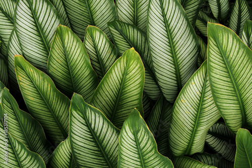 Valokuva  Green leaf with white stripes of Calathea majestica , tropical foliage plant nature leaves pattern on dark background