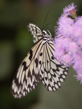 White Tree Nymph Butterfly (Id...