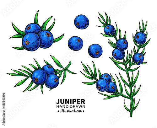 Fototapeta Juniper vector drawing. Isolated vintage  illustration of berry  obraz