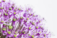 Close Up Of A Purple Sensation...