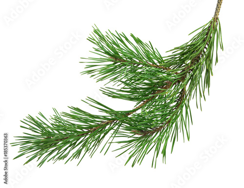Pine branch is isolated without a shadow. Close-up. Christmas. New Year.
