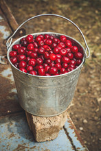 Cherries In A Bucket - Fresh And Juicy Berries (harvest)