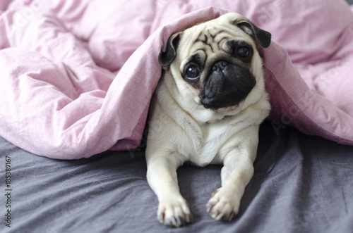 dog breed pug under the pink blanket Wallpaper Mural