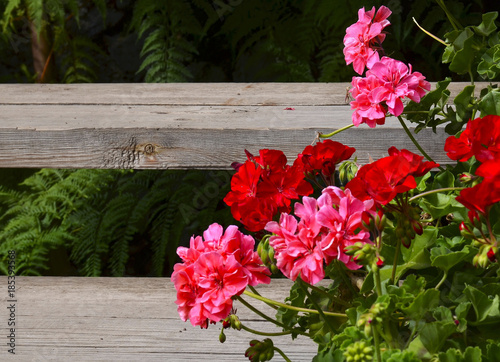 Pink and red geranium flowers in summer garden on old wooden stairs background Canvas Print