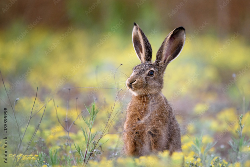 Fototapeta European hare stands in the grass and looking at the camera