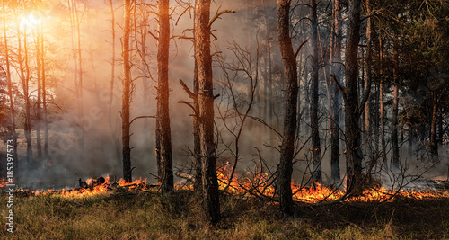 Photo  Forest fire and clouds of dark smoke in pine stands.