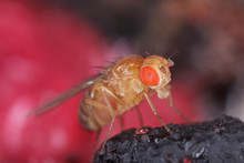 Common Fruit Fly Or Vinegar Fl...