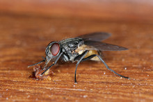 The Housefly Musca Domestica. Common And Burdensome Insect In Homes