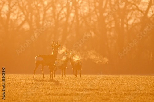 фотография  Roe deer, capreolus capreolus, morning backlight silhouette