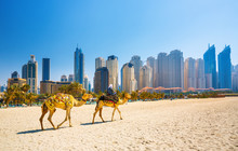 The Camels On Jumeirah Beach ...