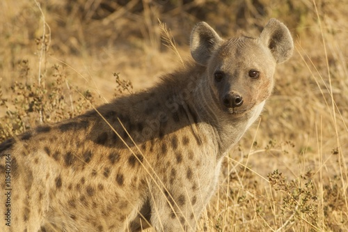 In de dag Hyena Hyena is bush