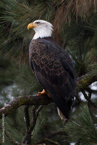 Bald Eagle at Higgen's Point