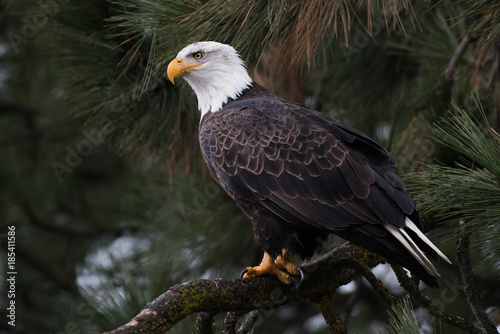 Spoed Foto op Canvas Eagle Bald Eagle at Higgen's Point