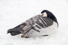 Schlafende Kanadagans Im Schnee