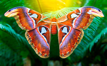 Beautiful Big Butterfly, Giant Atlas Moth, Attacus Atlas, Insect In Green Nature Habitat, Asia