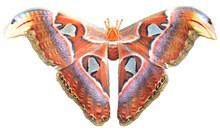 Beautiful Big Butterfly, Giant...