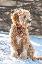 Mini Goldendoodle Puppy Sittin...