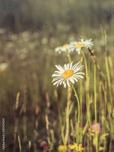 Foto op Canvas Madeliefjes Daisies in Meadow