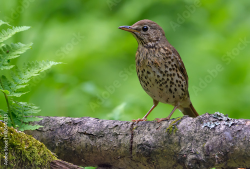 Fotografía  Young song thrush perched on big branch in spring forest