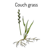 Couch Grass Elymus Repens , Or...