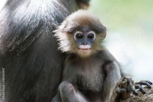 Fotografija  Dusky Leaf Monkey in deep forest,Thailand