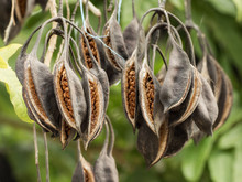Brachychiton Seed Pods