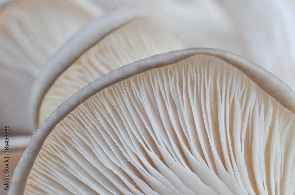 Fototapety, obrazy: Oyster mushroom or Pleurotus ostreatus background photo close-up. Healing and easily cultivated mushroom
