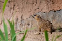 Meerkats Are Primarily Insecti...