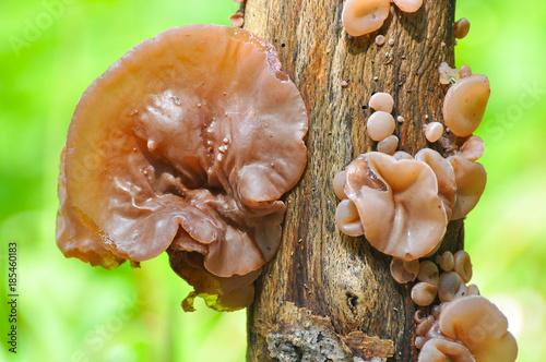 Auricularia auricula-judae, delicious Judas Ear mushrooms grows on wood Canvas Print