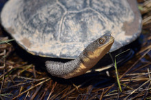 Eastern Long-necked Turtle, Ch...