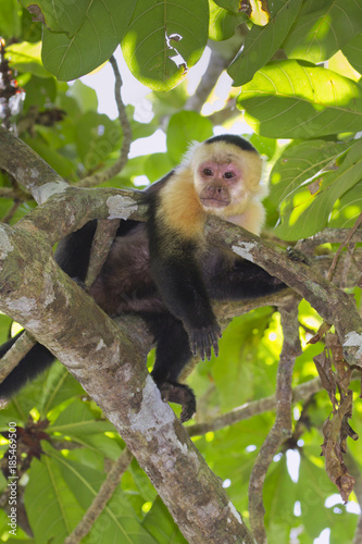 Fotografering  White-headed capuchin (Cebus capucinus) relaxing on a tree branch (Cahuita National Reserve, Lemon, Costa Rica)