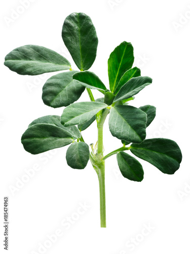 Poster Vegetal Fenugreek Trigonella foenum-graecum plant, paths