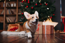 Corgi Puppy Dog Near Merry Christmas Tree With Red Toys And Gifts
