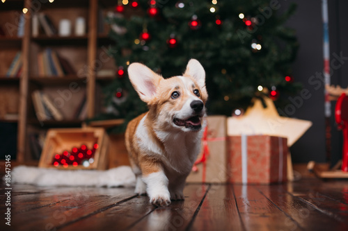 Photo corgi puppy dog near merry christmas tree with red toys and gifts