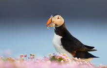 Atlantic Puffin Standing In Th...