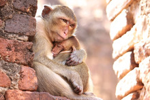 Mother Monkey Hug Baby