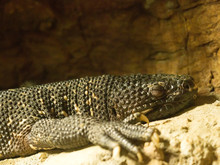 Guatemalan Beaded Lizard, Helo...