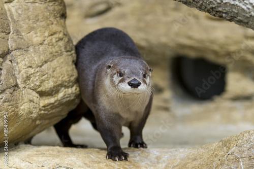 Fotografie, Obraz  North American River Otter in Rocks