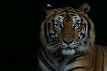 Close-up Bengal Tiger And Black Background. Copy Space