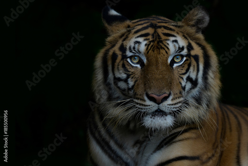 Foto op Plexiglas Panter Close-up bengal tiger and black background. Copy space